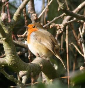 The Garden Robin