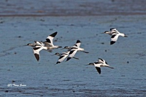 Avocets on the Tamar
