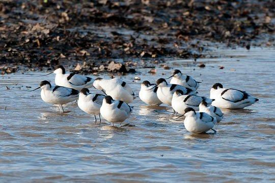 Avocets on River Tamar