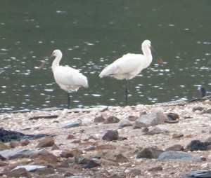 Spoonbills on Rat Island