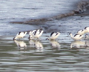 Avocets 'sweeping' for shrimps