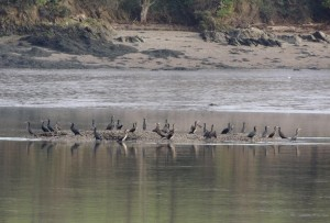 Cormorants on the Tamar